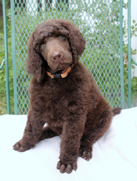 Standard Poodles | Solo Standards - Visit Now!