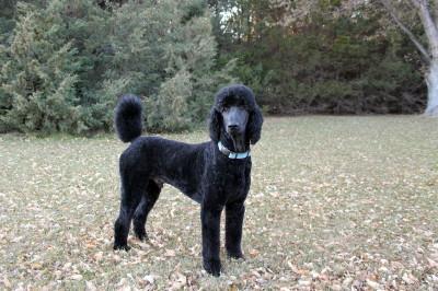 Stud Dog Royal Poodles Solo Standards